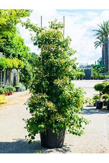 Hortensia Anomala Petiolaris - Hydrangea
