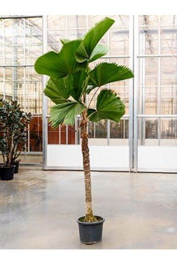 Palm Licuala Grandis - Waaierpalm