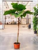 Palm Licuala Grandis