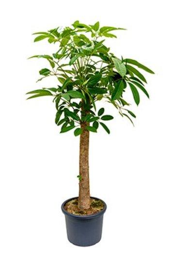 Schefflera Amate - Vingersboom