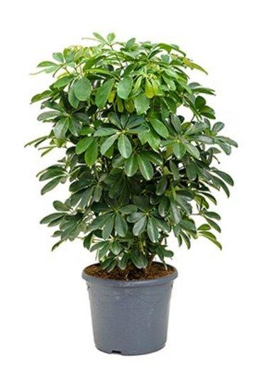 Schefflera Arboricola - Vingersboom