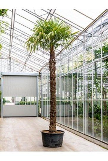 Palm Trachycarpus Fortunei - Henneppalm