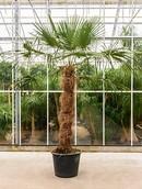 Palm Trachycarpus Fortunei