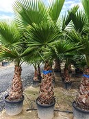 Palm Washingtonia Robusta