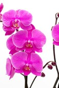 Orchidee Evolution