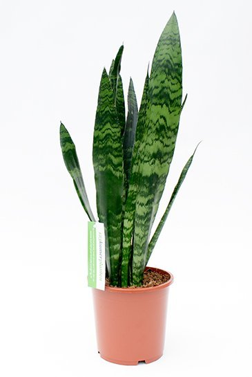 Sansevieria Black Coral - Vrouwentong