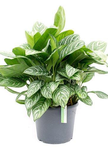Aglaonema Stripes - Chinese Evergreen