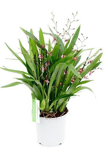 Orchidee Oncidium Katarina Zoch (Paars)