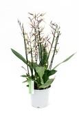 Orchidee Brassia Toscana