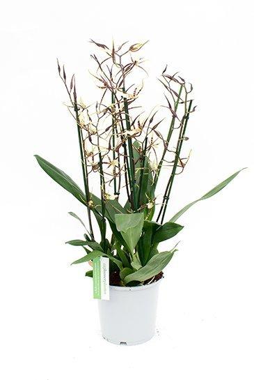 Orchidee Brassia Toscana (Geel/Bruin)