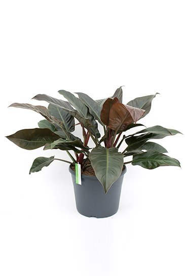 Philodendron Imperial Red - Phileo