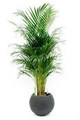 Palm Areca in Capi pot