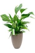 Spathiphyllum Lepeltjesplant in Capi plantenbak