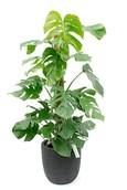 Philodendron Gatenplant in Capi Rib