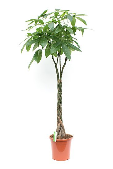 Pachira Aquatica - Geldboom