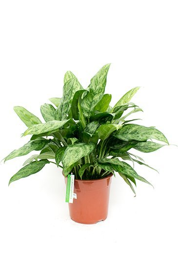 Aglaonema Amelia - Chinese Evergreen