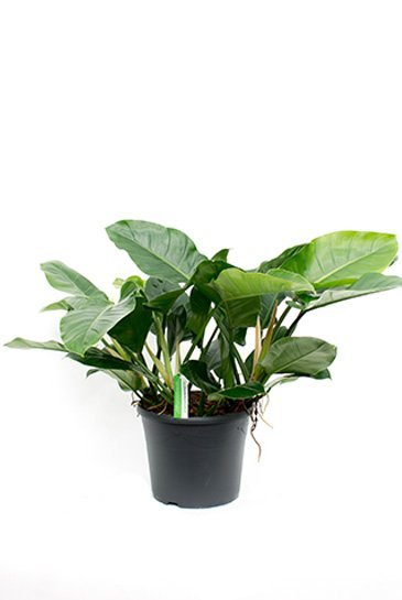 Philodendron Imperial Green - Phileo