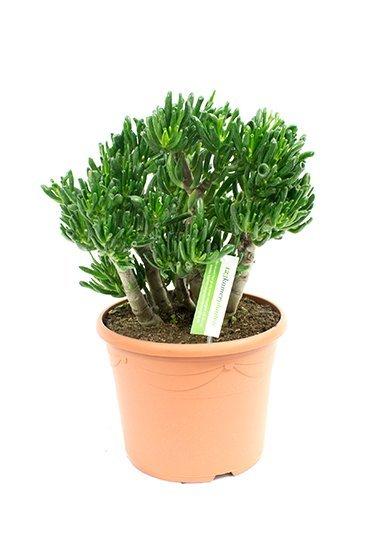 Crassula Horntree - Jadeplant