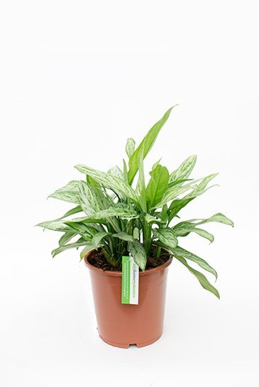 Aglaonema Silver Queen - Chinese Evergreen