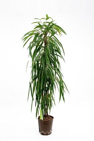Ficus Alii (Vijgenboom) - Hydroplant