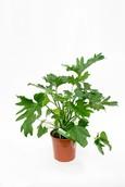 Philodendron Cum Laude