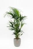 Palm Kentia Kentia in Capi Row grijs