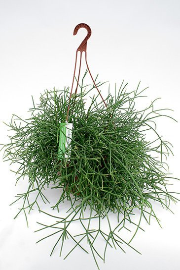 Rhipsalis Burchelli - Koraalcactus