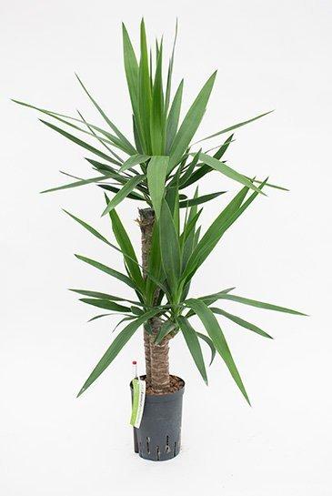 Yucca Elephantipes (Palmlelie) - Hydroplant