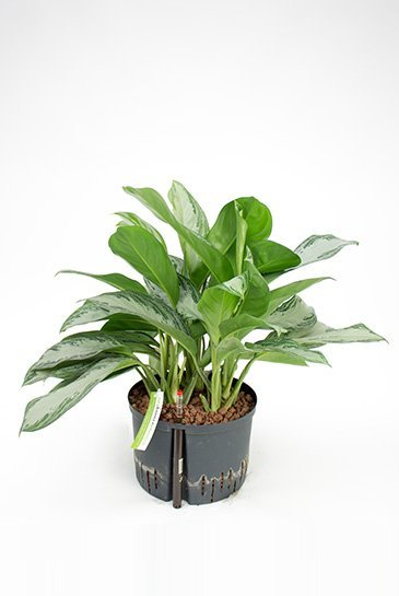 Aglaonema Silver Bay (Chinese Evergreen) - Hydroplant