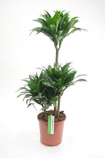 Dracaena Compacta - Drakenbloedboom