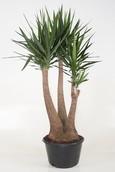 Yucca Tree