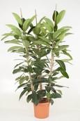 Ficus Roy