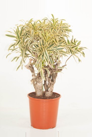 Dracaena Pleomele Reflexa Song Of India - Drakenboom
