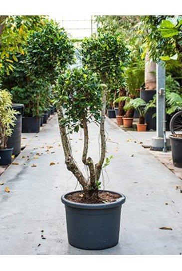 Ficus Nitida Compacta - Vijgenboom