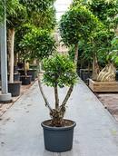 Ficus Nitida Compacta