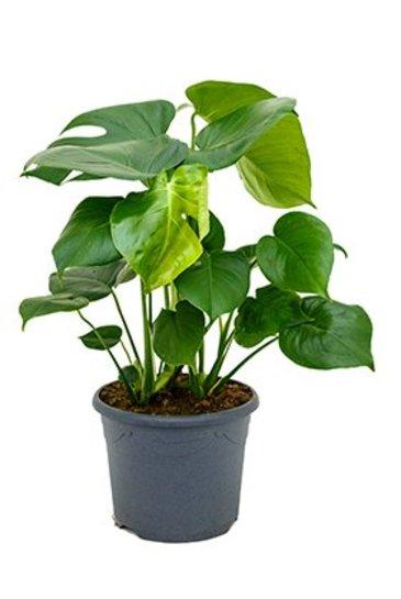 Philodendron Monstera - Gatenplant