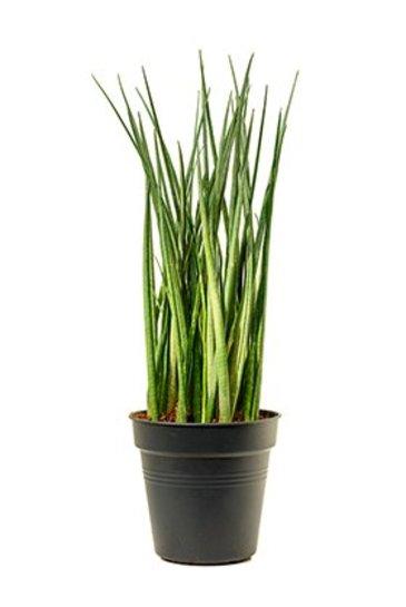 Sansevieria Bacularis - Vrouwentong