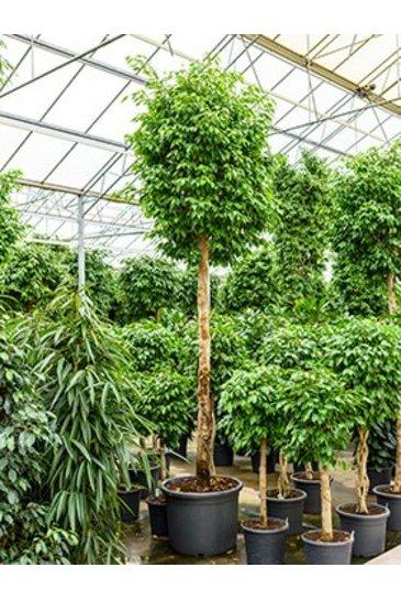 Ficus Benjamina Columnar - Vijgenboom