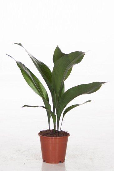 Aspidistra Eliator - Kwartjesplant