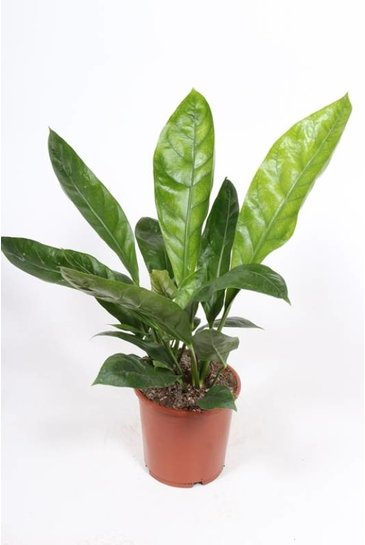 Anthurium Jungle King - Flamingoplant