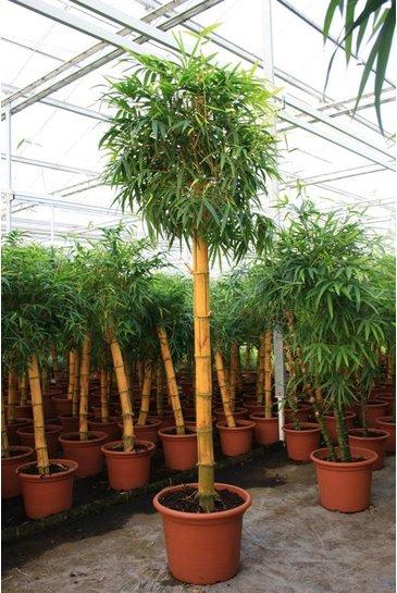 Bambusa Vulgaris - Bamboe