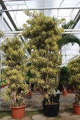 Dracaena Pleomele Song Of India