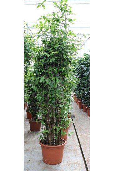 Kamerplanten encyclopedie  123kamerplanten