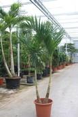Palm Veitchia Merrillii
