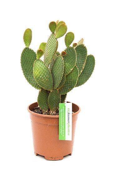 Cactus Opuntia Rufida - Schijfcactus