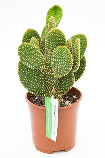 Cactus Opuntia Microdasys - Schijfcactus