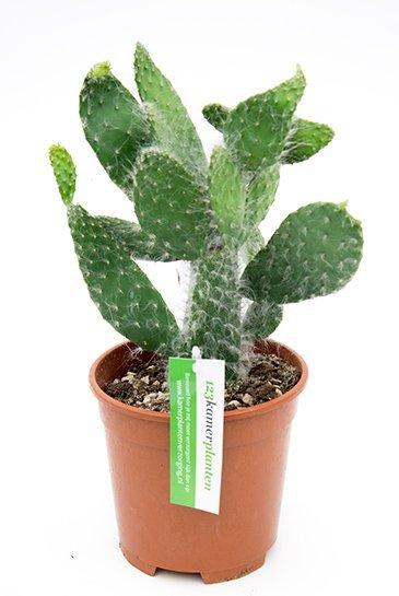 Cactus Opuntia Consolea - Schijfcactus