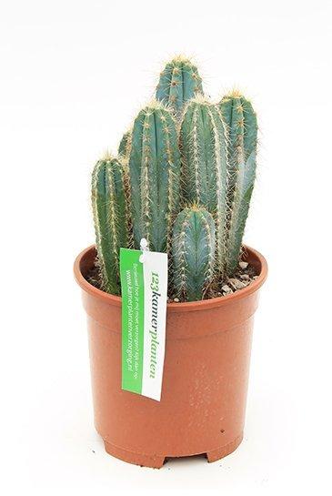 Cactus Pilocereus Azureus - Pilaarcactus