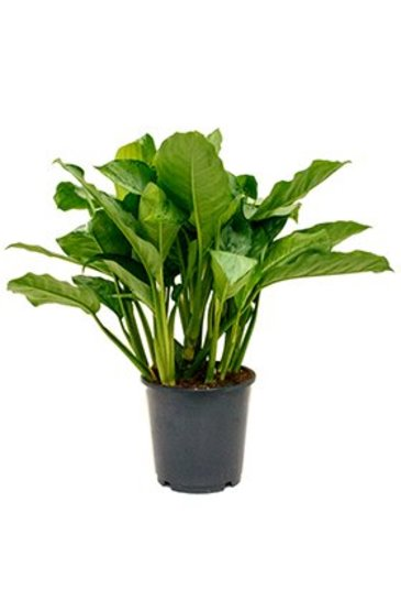 Aglaonema Freedman - Chinese evergreen