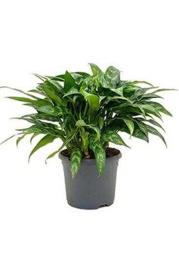 Aglaonema Maria - Chinese evergreen